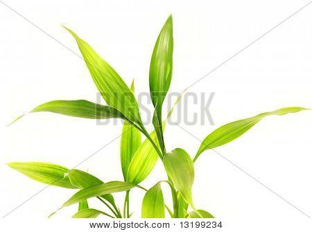 Bambus Blätter isolierten auf weißen Hintergrund