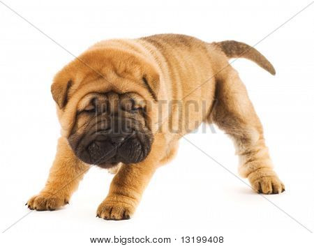 Funny sharpei puppy isolated on white background (studio shot)