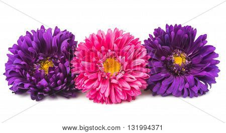 color  flowers aster isolated on white background