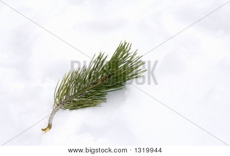 Pine Needles In Snow