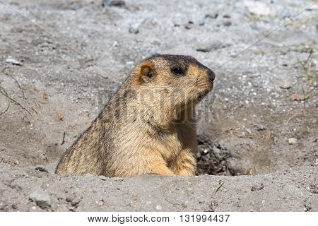 Funny marmot peeking out of a burrow in Ladakh India