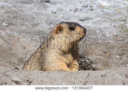 Funny marmot peeking out of a burrow in Ladakh India