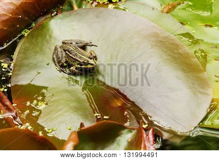 Green frog on a leaf of a water lily
