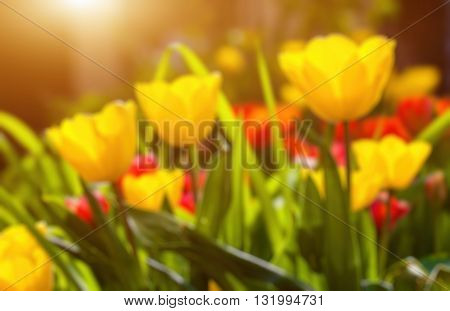 Abstract blurry background of tulip filed .