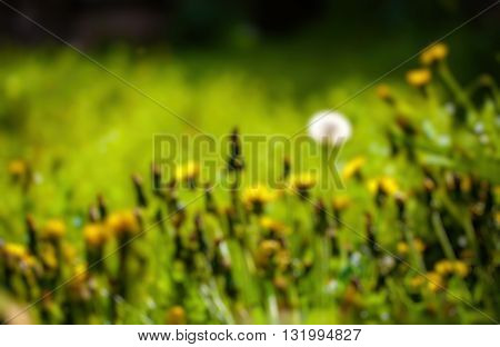 Abstract blurry background of dandelion filed .