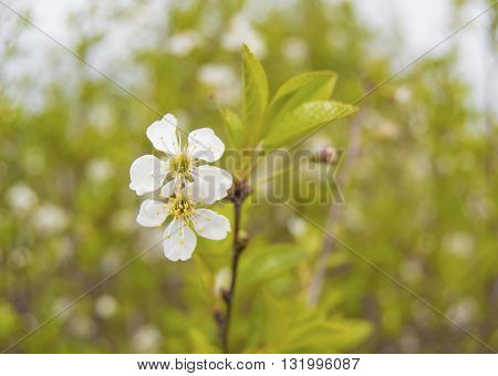 White cherry flower with leaves closeup. Selective focus.