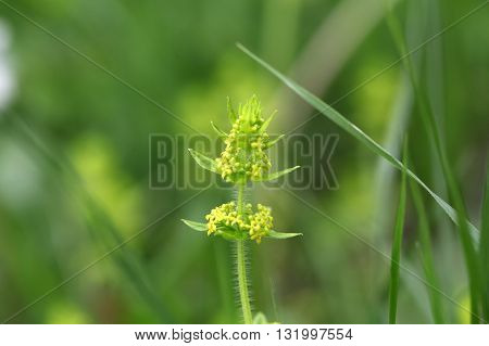A macro photo crossword or smooth bedstraw (Cruciata laevipes).