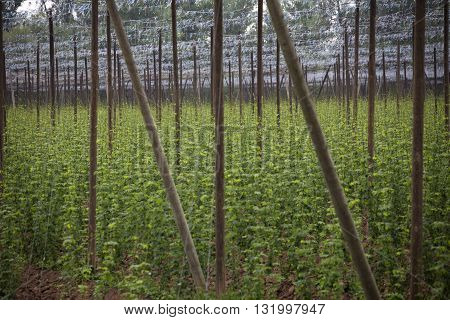 Garden hop landscape in spring. Agriculture landscape. Garden hops care constructions in rows. Farm field with garden hop.