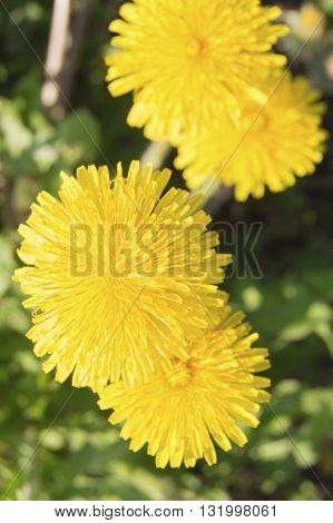 Top view of yellowTop view of yellow dandelion flowers in green grass dandelion flower