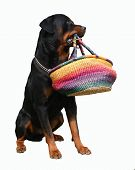 Rottweiler And His Bag