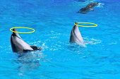 foto of cetacea  - Two dolphins playing with rings in dolphinarium - JPG