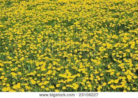 Meadow full of dandelion