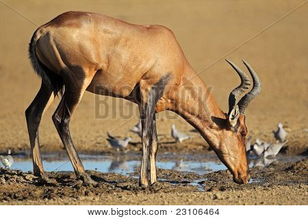 Red Hartebeest Drinking