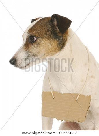 dog wearing sign - jack russell terrier with cardboard sign around neck