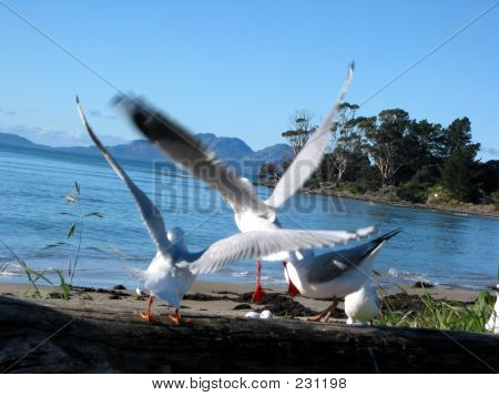 Sea Gulls Scatter