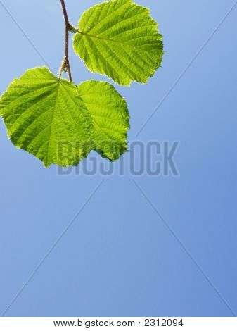 Twig Of A Lime Tree
