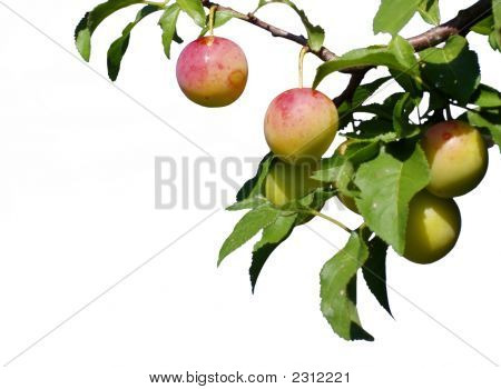 Nearly Ripe Plums