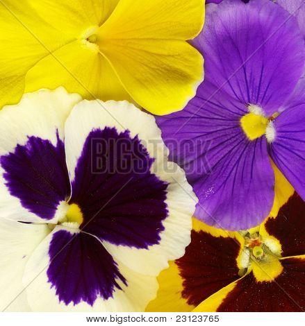 close-up of colorful viola tricolor