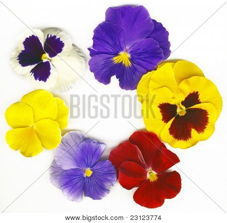 a circle made of colorful viola tricolor