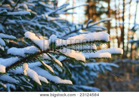 Pine tree branches covered with snow/frost