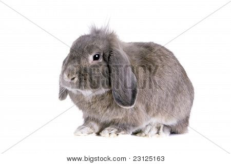 Grey lop-eared rabbit