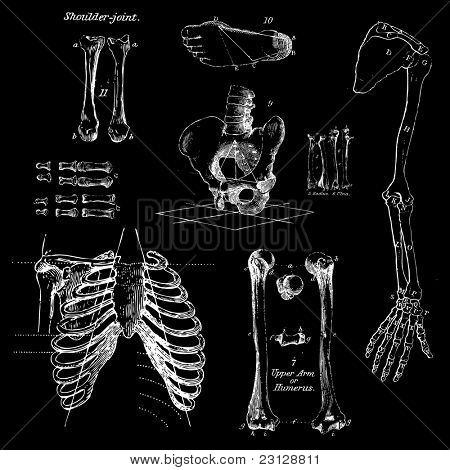 Menschliche Knochen, Vintage Vector set