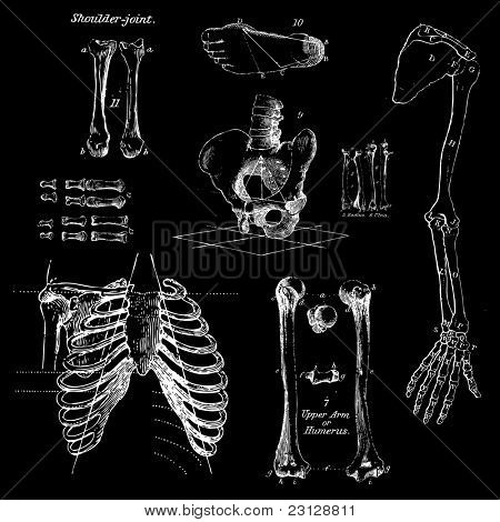 Human bones, vintage vector set