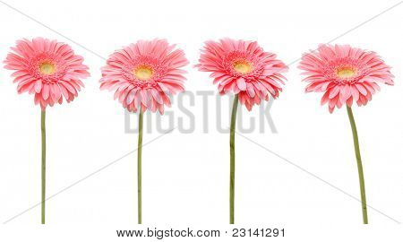 four gebera (african daisy) isolated on white