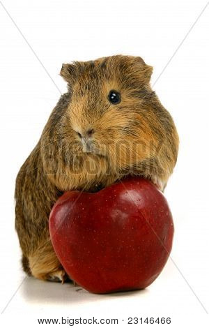 Guinea pig and red apple