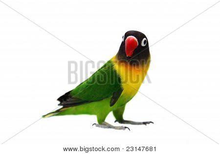 Masked Lovebird natural coloring