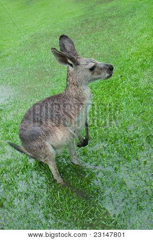 Soaked Kangaroo With Barely Visible Feet