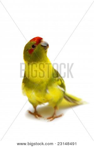 Red-fronted Kakariki parakeet cinnamon motley colored