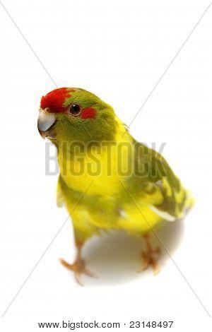 Red-fronted Kakariki parakeet cinnamon motley colored