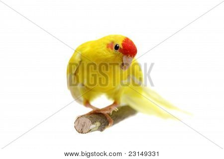 Red-fronted Kakariki parakeet yellow colored on white