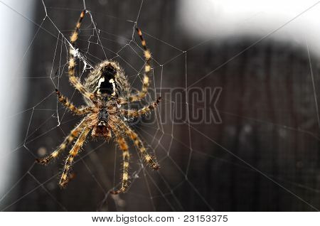 Brown Recluse Spider Building Its Web