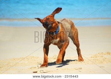 Dog Shaking