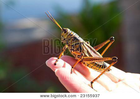 Florida Grasshopper Lubber