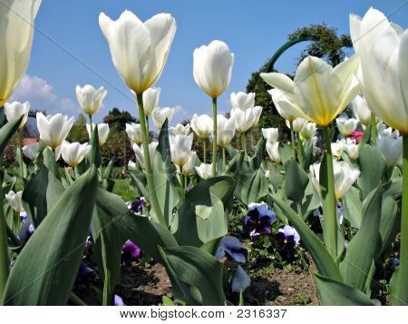 White Tulips And Violets