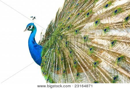 Colorful Peacock In Full Feather.