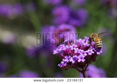 Bee Pollinating A Purple Lantana In A Summer Garden