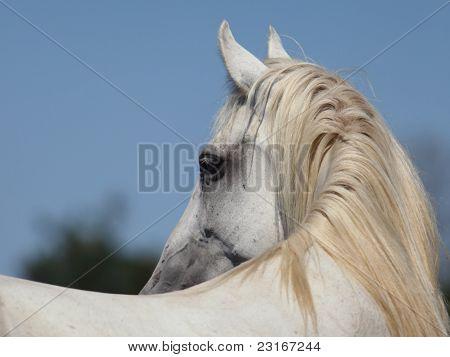 White Holstein horse