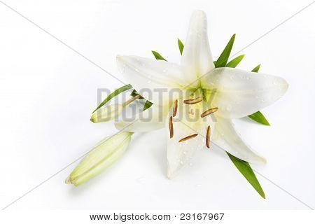Lily Flower Isolated On A White Background