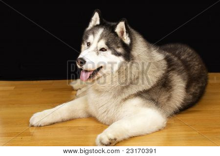 Cão de estimação
