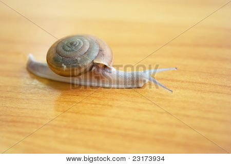 Full snail on table right view