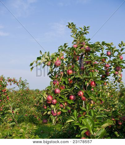 Apples and Apple trees