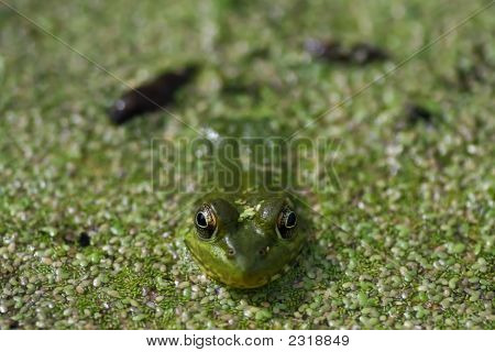 Frosch Makro ganz in der Nähe