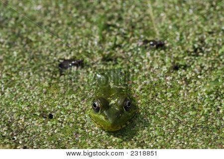 Frog Macro In Pond