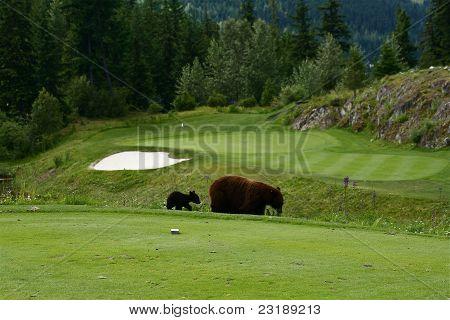 Bears on the golf course