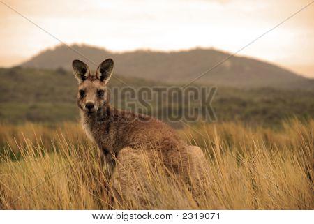 Wild Kangaroo In Outback