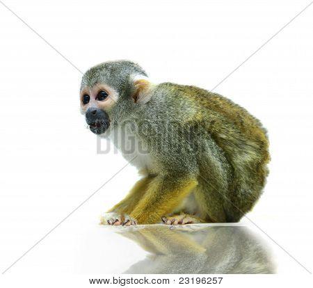 Squirrel monkey on white